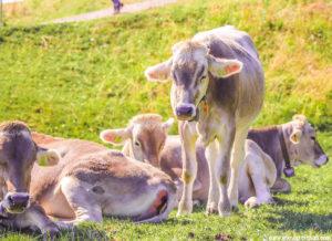 Mount Rigi cows